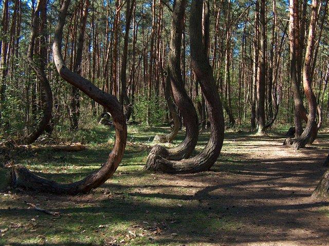 «Кривой лес»