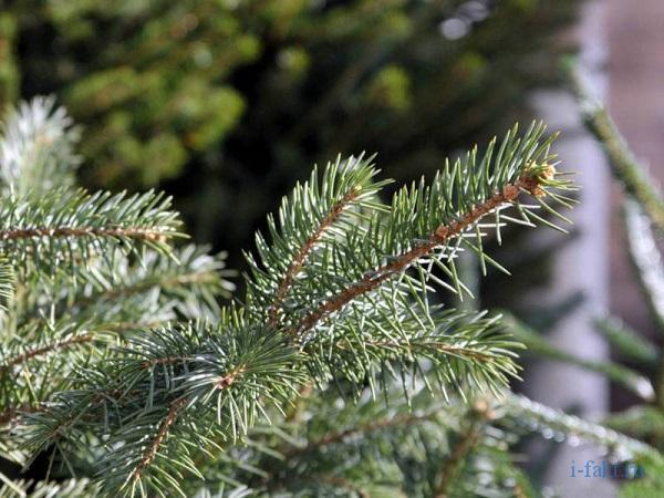 Запрет на новогодние елки
