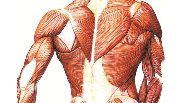 Интересные факты про мышцы человека