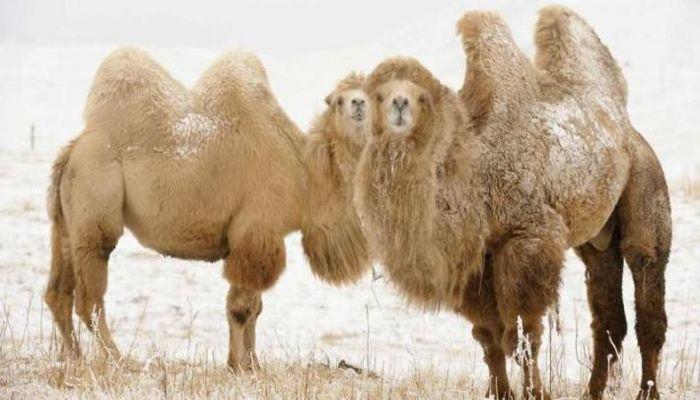 Для чего горб у верблюда