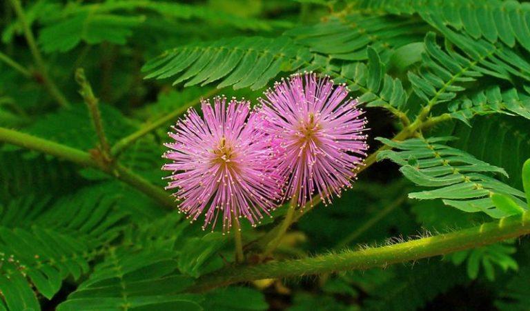 მორცხვი მიმოზა - გონიერი მცენარე, რომელსაც გაბრაზება შეუძლია