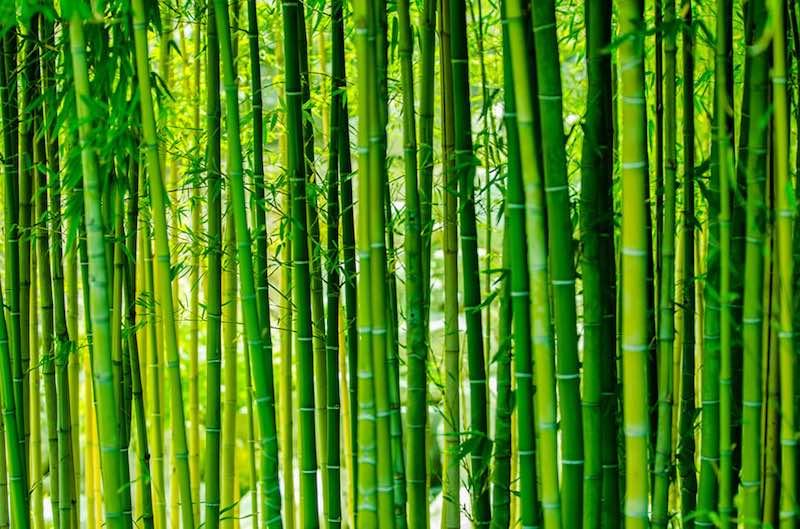 Интересные факты о бамбуке