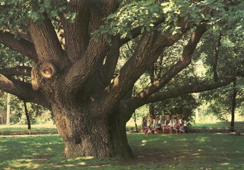 Запорожский дуб, возраст 700 лет