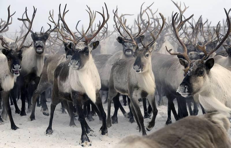Интересные факты о северных оленях.