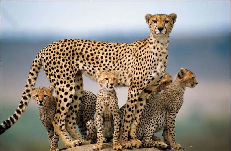 Интересные факты о гепардах.