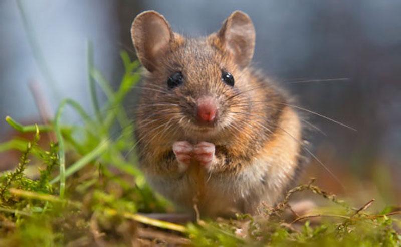 Интересные факты о мышах.