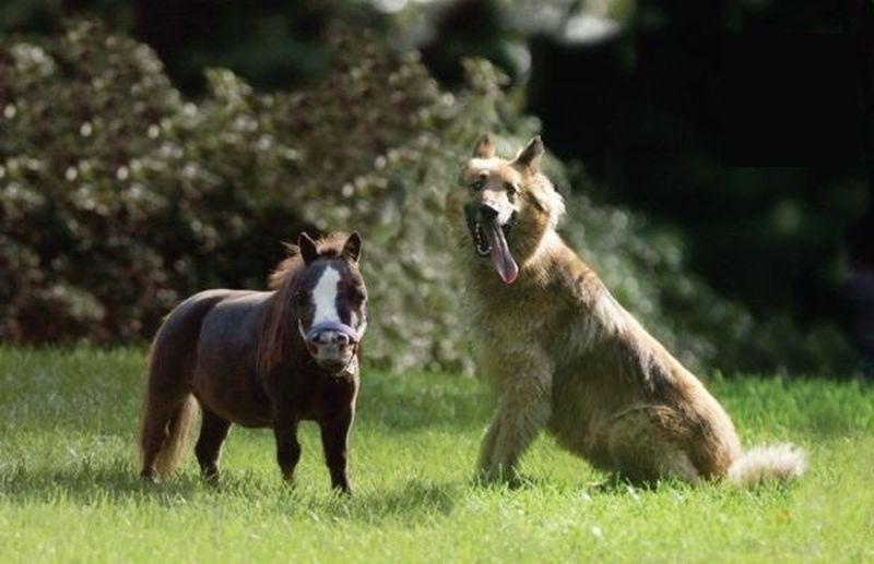 Самая маленькая лошадь в мире.