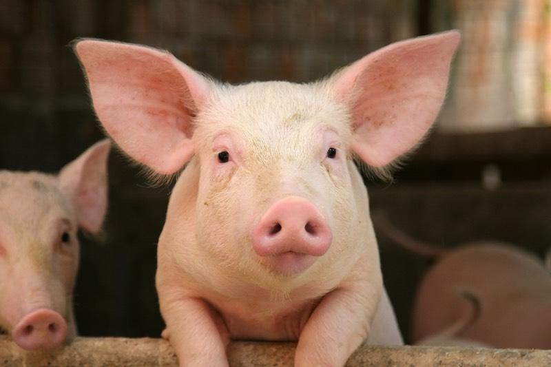 Интересные факты о свиньях.
