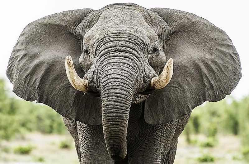 Интересные факты о слонах.