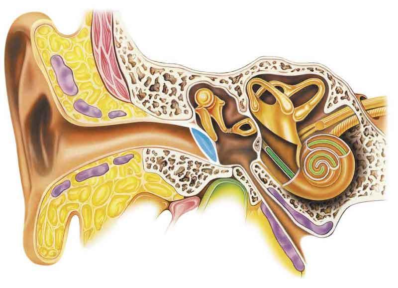 Интересные факты об ушной сере.