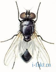 Интересные факты про мух 3