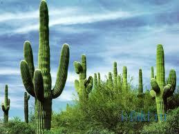 Интересные факты про кактусы