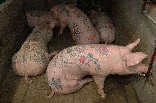 Салон татуировок для свиней 5
