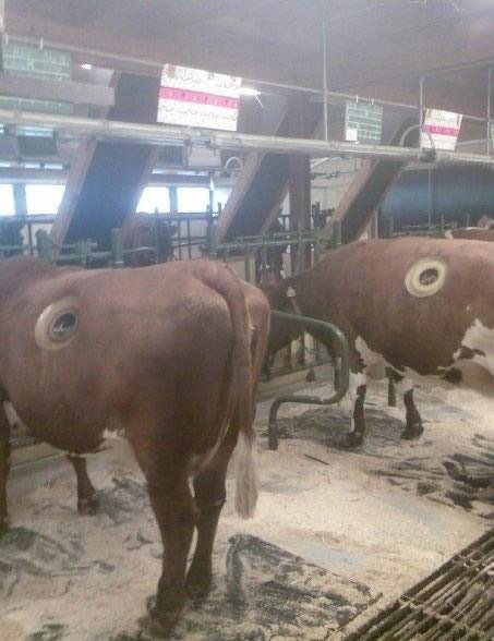 Дырявые коровы 3