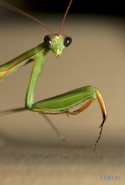 у насекомых нет боли