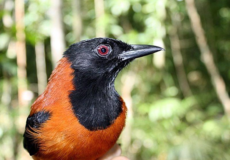 Питаху - ядовитые птицы