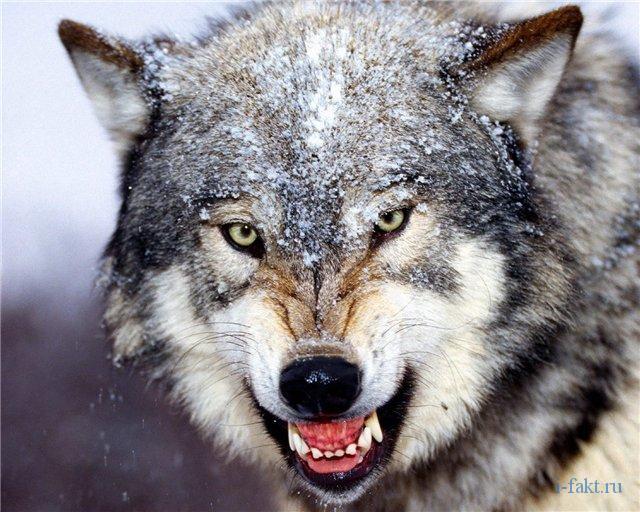 Тамбовский волк тебе товарищ !