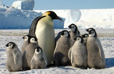 Почему пингвины не мерзнут