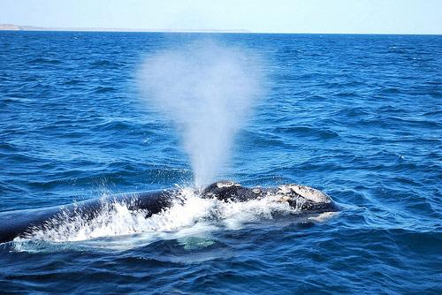 Почему  у кита бьет фонтан