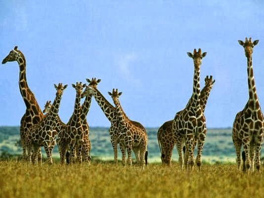 Откуда шея у жирафа 2