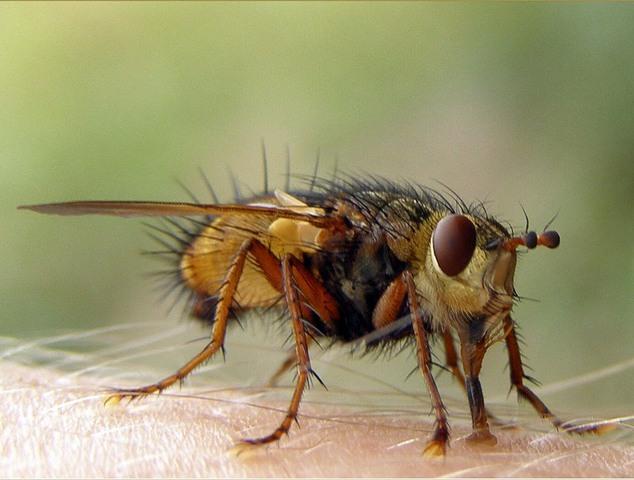 Чем опасна муха ЦеЦе