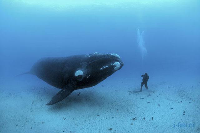 Синий кит - самый большой кит.