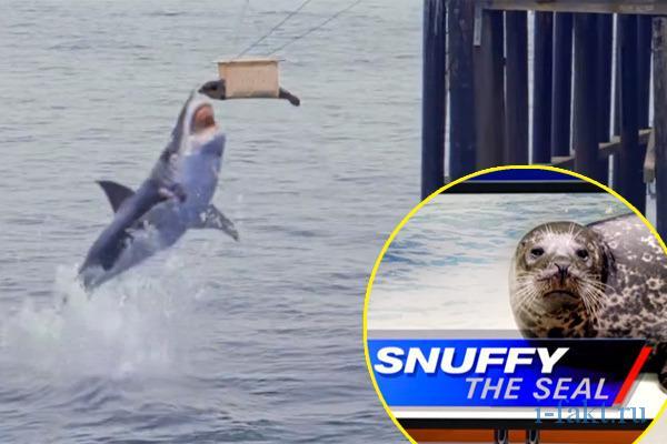 Акула сьела тюленя Снаффи