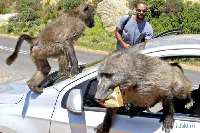 Павианы воруют из машины