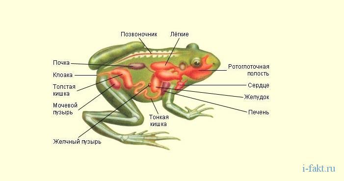 Почему лягушка стала обьектом опытов