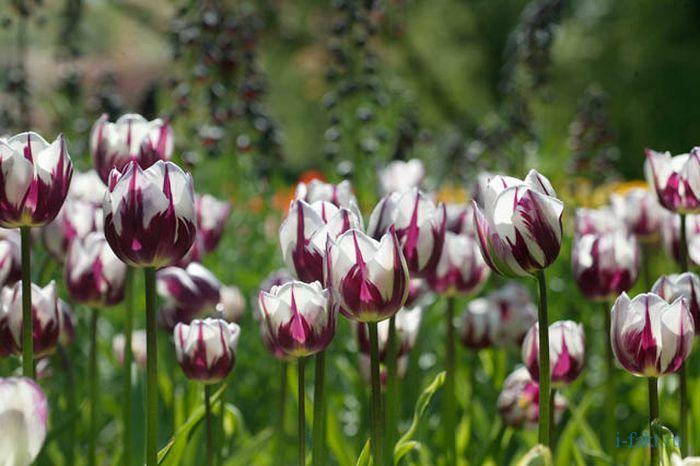Самые дорогие тюльпаны
