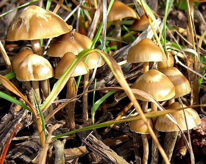 Галюциногенные грибы