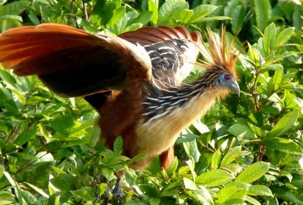 самая вонючая птица в мире