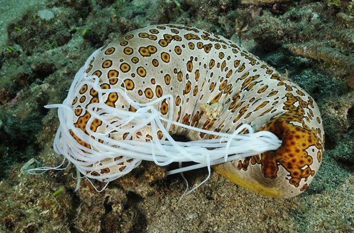 Голотурия - морской огурец