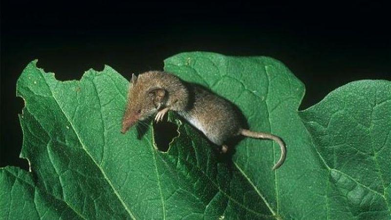 Карликовая многозубка - самое маленькое млекопитающее