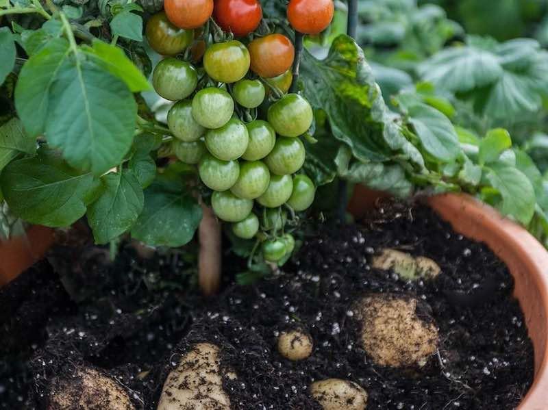 Помидофель - картофель и помидоры с одного куста