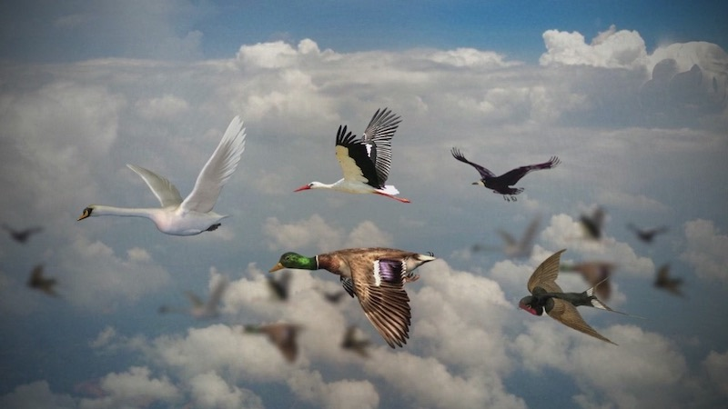 Перелетные птицы факты