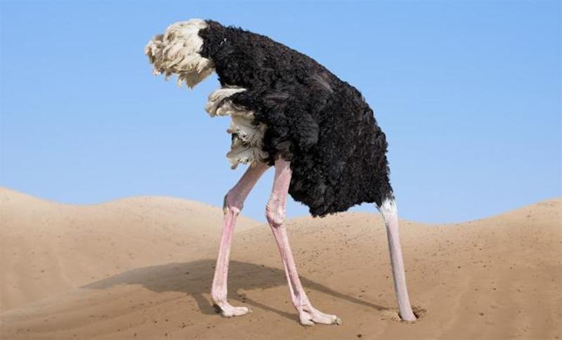 Страус прячет голову в песок