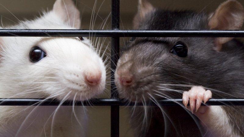 Канадская провинция Альберта победила крыс.