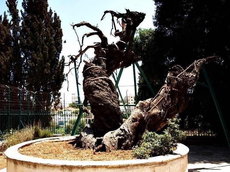 Мамврийский дуб, возраст ~5000 лет.