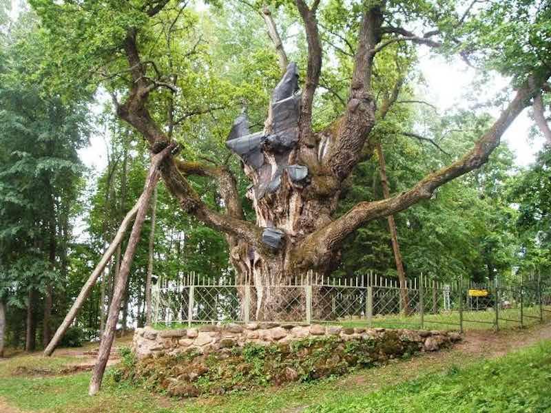 Стелмужский дуб, возраст ~2000 лет.
