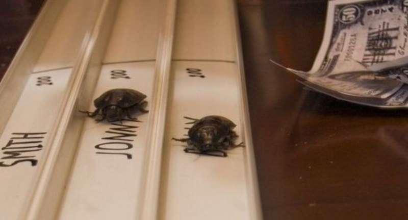 Интересные факты о тараканьих бегах